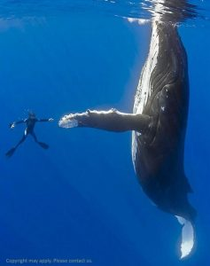 Swimmer close to Hump Back Whale