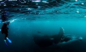 Swimming with a Hump Back Whale