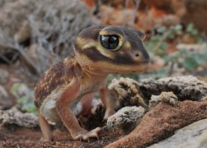 Knob Tailed Gecko