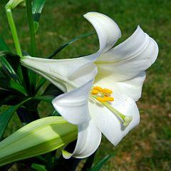 Minilya Lily