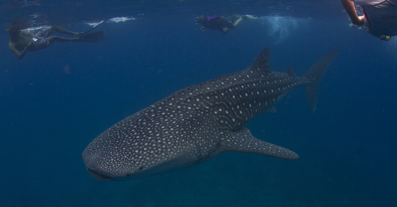 Snorkelling with whaleshark